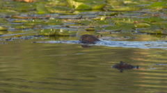 A Muskrat Swims and Dives Stock Footage