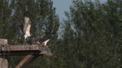 Osprey Family at the Nest Stock Footage