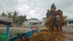 Men Unload Boat from Seaweeds Load to Tractor on Sea Pier Stock Footage