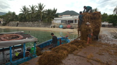 Closeup Men Unload Boat from Brown Seaweeds to Tractor on Pier Stock Footage
