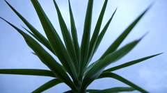Yucca in the wind Stock Footage