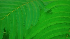 Fern Like Leaves of a Wild Plant in Bali, Indonesia. Video 4k Stock Footage