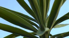 Yucca closeup Stock Footage