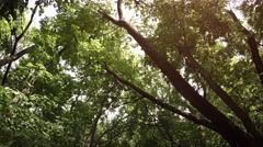 Passing Slowly amongst Mature Trees in a Forest Stock Footage