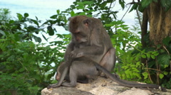Monkey mother grooming child on Bali Stock Footage