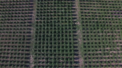 Aerial Zoom in to Rows Of Landscaped Marijuana Plants Stock Footage