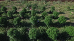 Grower Checking on Field of Cannabis Hemp Plants Aerial View Stock Footage