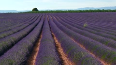 Fields With Lavender In Blossom Rural Landscape In Provence France Stock Footage