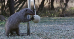 Funny animal. Banded mongoose playing with a swing ball in a garden Stock Footage
