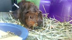 Funny guinea pig eating food in cage inside petsmart store Stock Footage