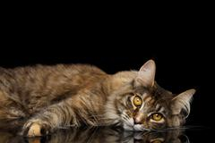 Maine Coon Cat Lying, Looks Cute Isolated on Black Background Stock Photos