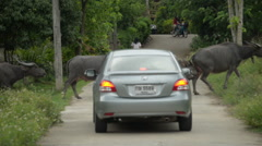 Thailand Water Buffalos Crossing Street and Entering Field Stock Footage