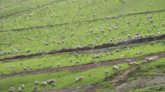 Huge Flock of Sheep Grazing on a Mountain Pasture Stock Footage