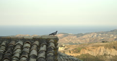 Pigeon on the rooftop at the old Italian village Badolato in Calabria. Stock Footage
