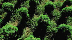 Field of Marijuana Plants Fly Away Aerial View Stock Footage