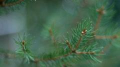 Conifer needles closeup Stock Footage