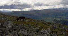 Hiking in Sarek reindeers on the mountain Stock Footage