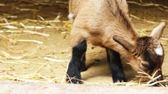 Brown Shorthaired Goatling Stock Footage