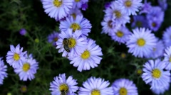 European honey bee (Apis mellifera) Arkistovideo