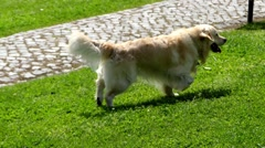 Golden Retriever is large-sized breed of dog Stock Footage