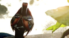 Mandarin duck (Aix galericulata) Stock Footage