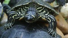 Chinese pond turtle (Mauremys reevesii) Stock Footage