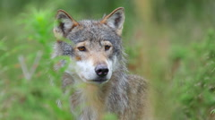 Wolf male hides in high grass alerted moving ears and head slowly Stock Footage