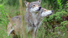 Two male wolf stand toghether sniff in air turning head Stock Footage