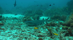 Whitetip reef shark 4k Stock Footage