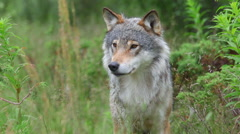 Wolf male zoom in head view alerted moving head Stock Footage