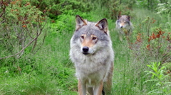 Two wolf males one behind standing alerted raise head Stock Footage