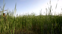 Girl in a black dress and sunglasses walking in the field with high grass Stock Footage
