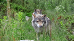 Two wolf males standing behind each other Stock Footage