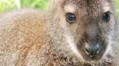 Parma wallaby (Macropus parma) Stock Footage