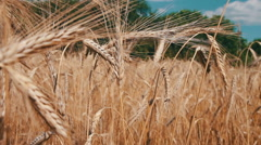 Cereal Field and Spikelets Stock Footage