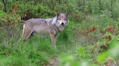 Wolf appear in forest walking away Stock Footage