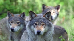 Tree wolf male standing together alerted watching different directions Stock Footage