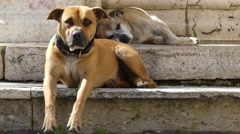 Boerboel also known as South African Mastiff Stock Footage