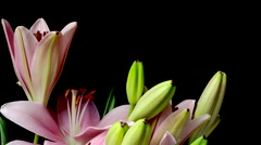 Pink Asiatic Lily Flower Timelapse Stock Footage
