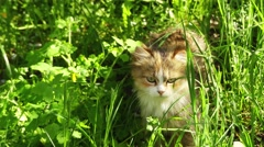 Red cat goes on a meadow with tall grass Stock Footage