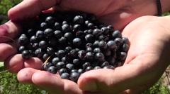 Wild bilberry ripe fruit on palms (Vaccinium myrtillus). Stock Footage
