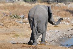 Elephant, Etosha National park, Namibia Stock Photos