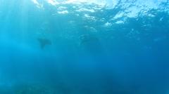 Reef Manta Rays swimming underwater in ocean of Bali, Indonesia Stock Footage