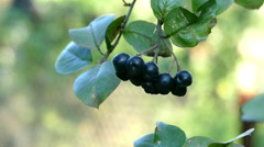 Harvesting Chokeberry Hands Stock Footage