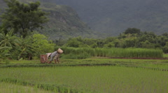 Vietnamese farmer cutting rice by hand in fields of Sapa Mai Chau Vietnam Stock Footage