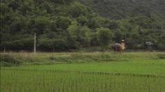 Farmer walking the bull in rice fields of Sapa Mai Chau Vietnam Stock Footage