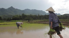 Vietnamese farmers planting rice by hands in paddy terrace field near Sapa Mai  Stock Footage