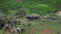 Vietnamese farmer children shepherds watching the bulls in rice fields of Sapa M Stock Footage