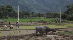 Bull and farmers planting rice by hands in paddy terrace field in Sapa Mai Chau  Stock Footage