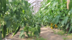 Sweet peppers on a branch in the greenhouse Stock Footage